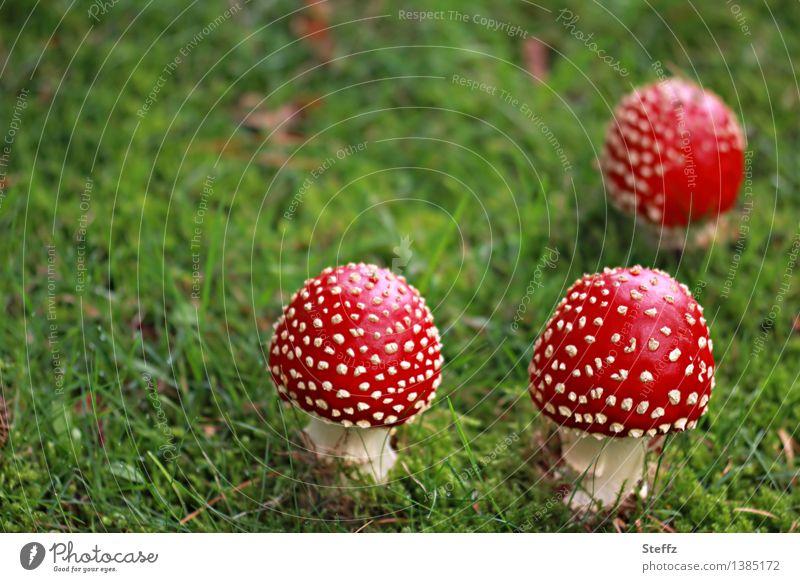 drei Rotkäppchen (2) Natur Herbst Gras Fliegenpilz Pilz Pilzhut Wiese Wald Waldrand Waldlichtung Waldboden Waldwiese Herbstwald Wachstum schön grün rot