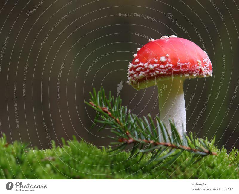 Glückspilz Umwelt Natur Erde Pflanze Moos Grünpflanze Zweig Tannennadel Fliegenpilz Wald stehen ästhetisch natürlich positiv weich grau rot weiß Stimmung