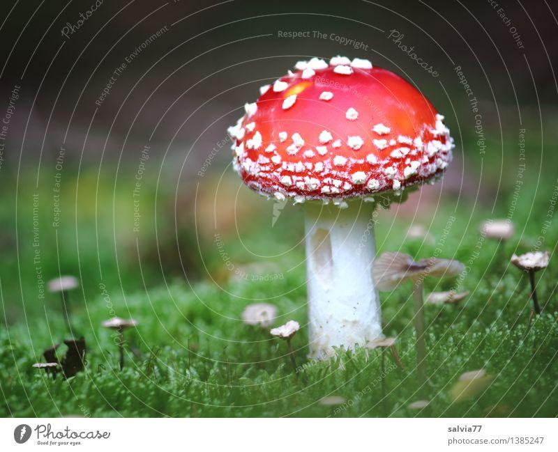 Groß und Klein Umwelt Natur Tier Erde Herbst Pflanze Moos Waldboden Pilzhut Fliegenpilz leuchten stehen ästhetisch klein grün rot weiß Stimmung Farbe Glück