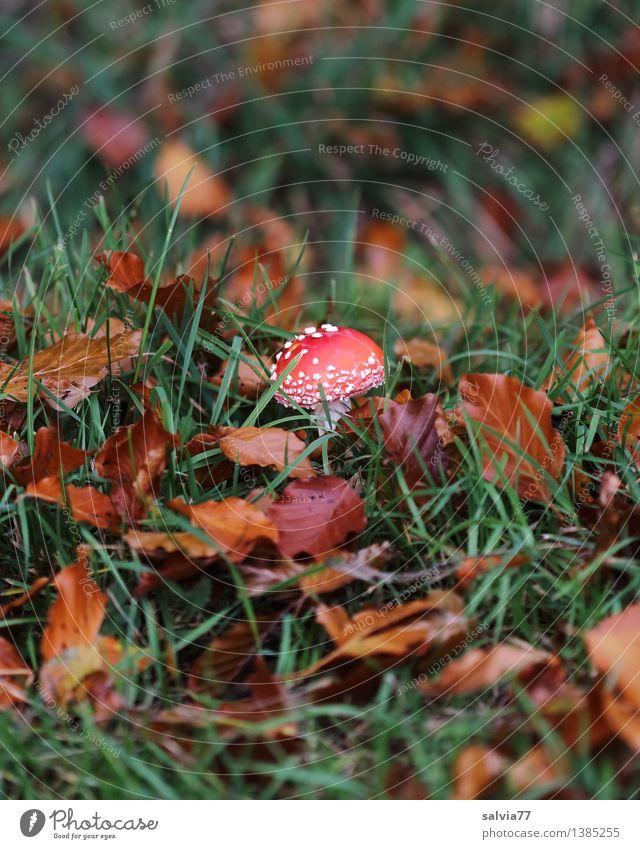 fast übersehen... Umwelt Natur Tier Erde Herbst Gras Blatt Pilz Fliegenpilz Wiese Feld stehen Wachstum klein natürlich braun grün rot Schutz ruhig Einsamkeit