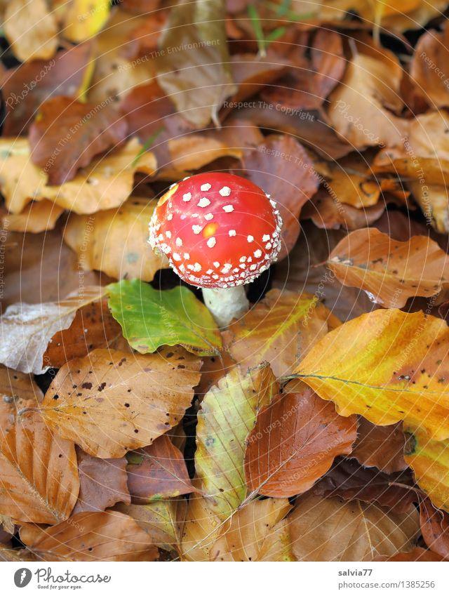 Jung und Alt Umwelt Tier Erde Herbst Pflanze Blatt Herbstfärbung Laubwald Pilz Fliegenpilz Wald stehen klein trocken weich braun gelb rot Geborgenheit standhaft