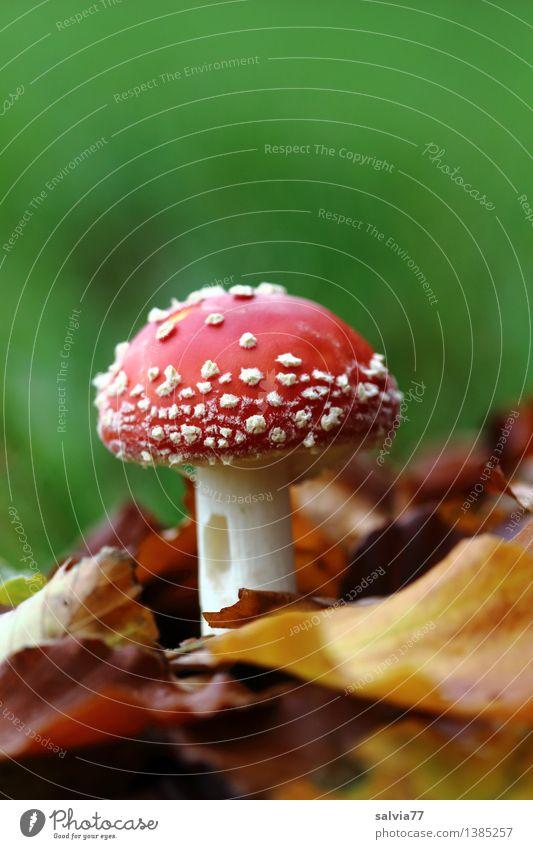 Angefressen Umwelt Natur Tier Erde Herbst Pflanze Blatt Fliegenpilz Pilzhut Wald Wachstum klein schön braun mehrfarbig grün rot weiß Stimmung Glück ruhig