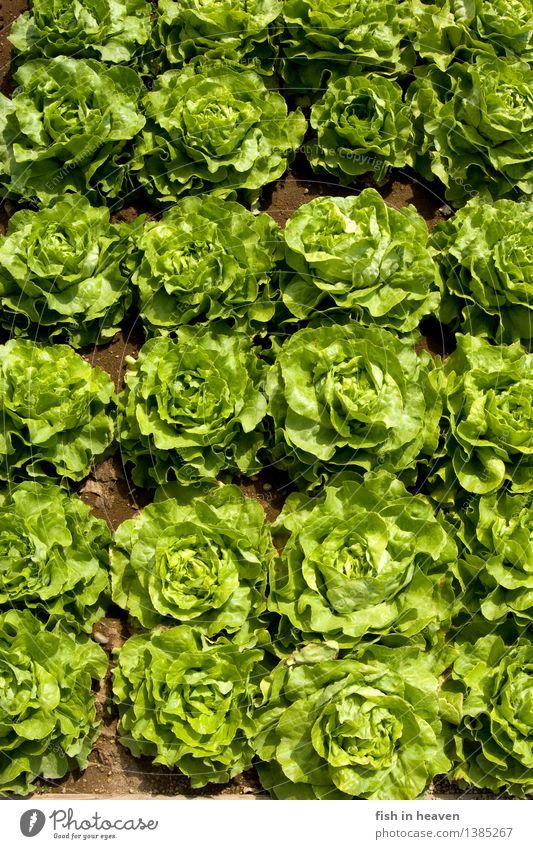 Salatköpfe Lebensmittel Salatbeilage Ernährung Bioprodukte Vegetarische Ernährung Natur Pflanze Grünpflanze Nutzpflanze Feld Wachstum frisch Gesundheit