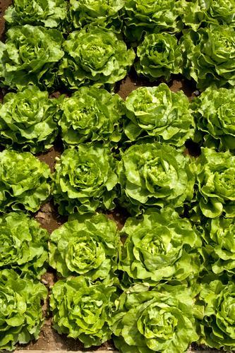 Salatköpfe Natur Pflanze grün Farbe natürlich Gesundheit Lebensmittel Feld Wachstum frisch Ernährung Bioprodukte Vegetarische Ernährung Beet Salatbeilage