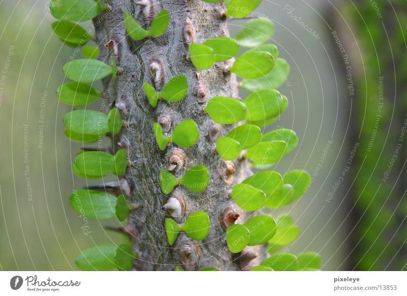 Green en detail Baum Blatt Ast Zweig Stachel Dorn Makroaufnahme