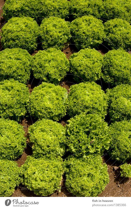 Salatköpfe Lebensmittel Gemüse Salatbeilage Ernährung Handwerker Landwirtschaft Forstwirtschaft Natur Pflanze Grünpflanze Nutzpflanze Feld Wachstum natürlich