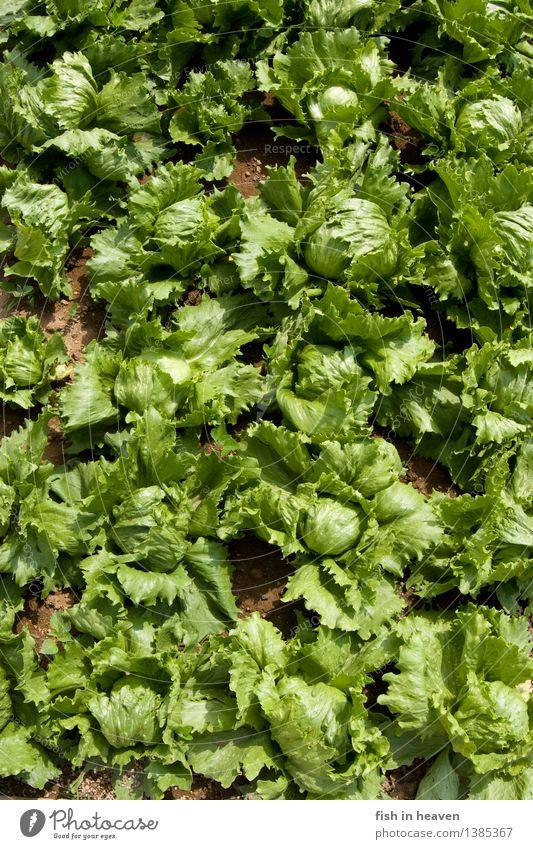 Salatköpfe Natur Pflanze grün Gesunde Ernährung Leben Lebensmittel Feld Wachstum authentisch Landwirtschaft Gemüse lecker Vegetarische Ernährung Beet