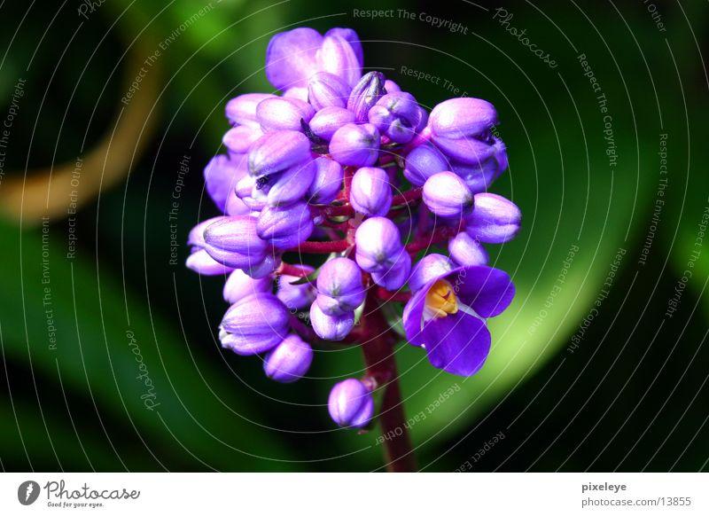 Velvet Flower Blume violett Pflanze Makroaufnahme