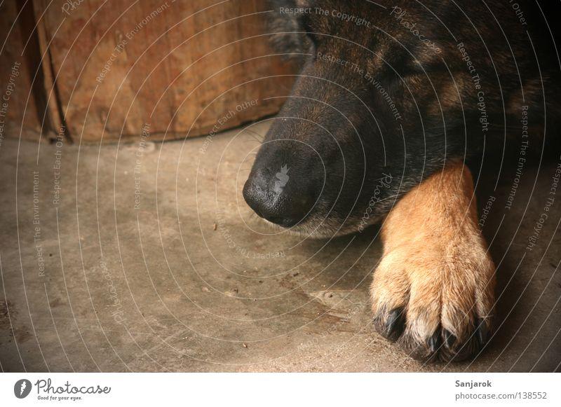 Sonntag Nachmittag ruhig Erholung Holz träumen Hund Beton schlafen Bodenbelag Frieden liegen Wachsamkeit Säugetier Pfote Schnauze Krallen Wolf