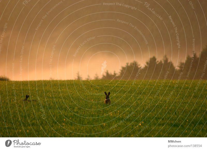 Freund oder Feind? Hase & Kaninchen Löffel Blick Blick nach oben Wiese Feld Morgen Lebensmittel Ernährung verstecken Nebel Natur Wildtier freilaufend Eifel
