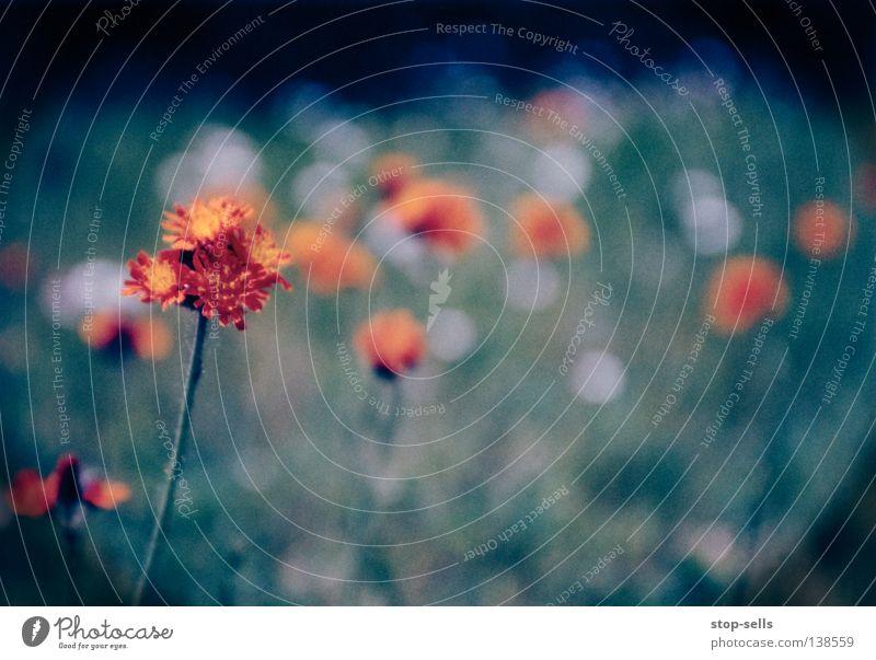 Sick::Flower::Dancin' Blume Blüte Pflanze kalt Unschärfe Wachstum Vordergrund Langeweile Lebewesen Wiese Vignettierung Kreis orange Tanzen blau Wärme schön