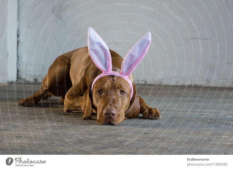 bald ist es soweit Hund ruhig Tier liegen warten beobachten Ostern Gelassenheit Ohr Haustier Vorfreude Karnevalskostüm geduldig Parkett Osterhase