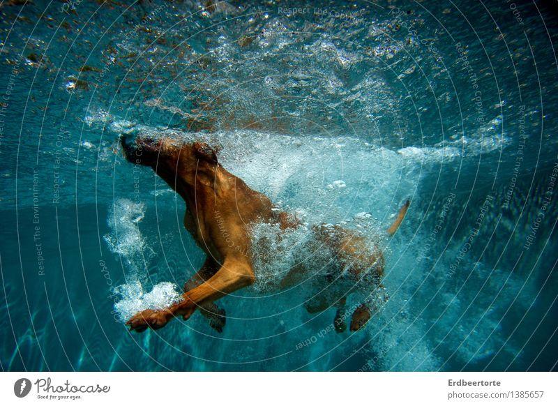Aquagymnastik Hund Ferien & Urlaub & Reisen blau Sommer Freude Tier kalt Bewegung Sport Gesundheit Schwimmen & Baden braun Freizeit & Hobby Lebensfreude nass