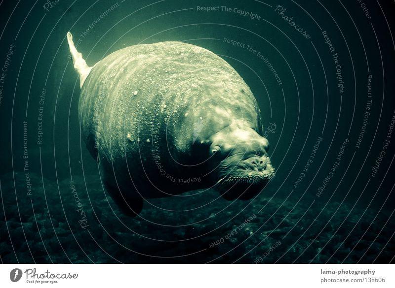 1 Tonne Leichtigkeit Seelöwe Robben Ohrenrobben Seehund tauchen gleiten Schweben Wal atmen Luftblase Meer Gewässer Meeresboden Erholung genießen träumen