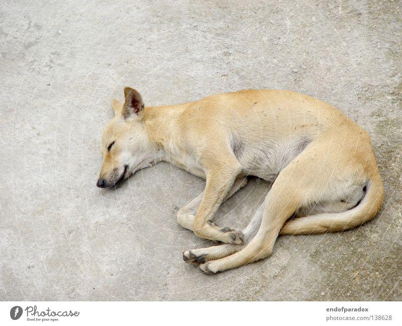 hund alt weiß blau Tier Erholung grau Hund dreckig Beton schlafen Pause Frieden liegen Asien verfallen Müdigkeit