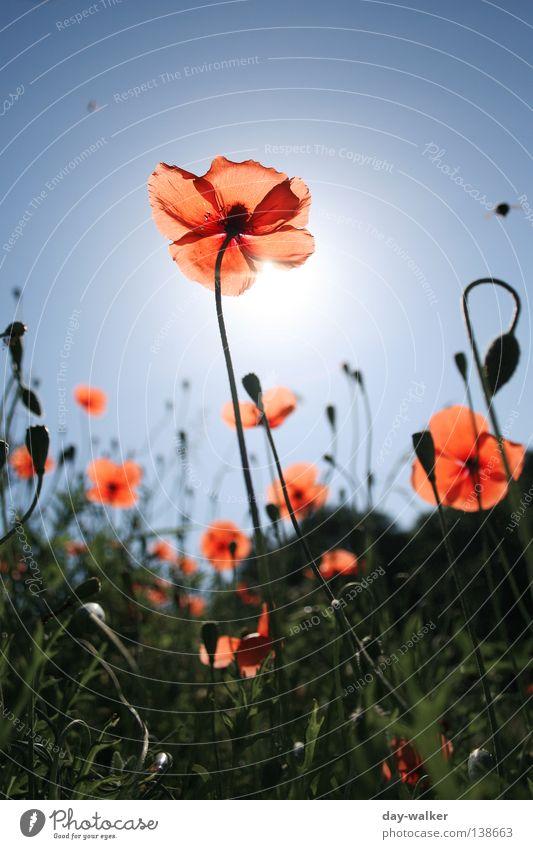 Die Biene und die Blume Natur Himmel Sonne Pflanze Wiese Blüte Gras Beleuchtung orange Feld Insekt Mohn Halm Blütenknospen