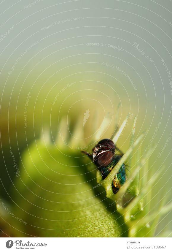 assassin Gartenarbeit Natur Pflanze Blatt Fliege Beute bedrohlich einzigartig stachelig gelb grün Tod Appetit & Hunger Angst gefährlich Übermut gefräßig