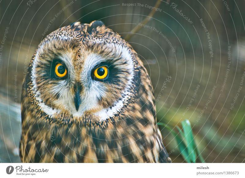 Kurzohrige Eulen-Nahaufnahme Tier Vogel Tiergesicht 1 beobachten wild braun gelb grau weiß Weisheit Neugier Waldohreule Tierwelt Schnabel fleischfressend Auge