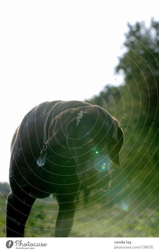 Laserdog Jagdhund Hund Jäger Tier Treue beste Luft Spaziergang auslaufen braun Wiese Gras Sträucher Feld grün Säugetier Hundemarke Gegenlicht Lichtpunkt Spielen