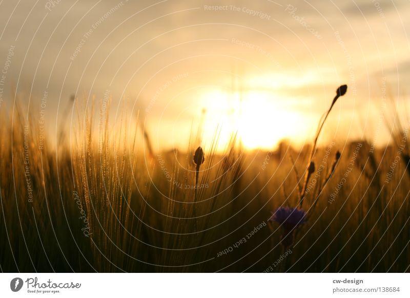 WIR WOLLN SOMMER Natur Sonne Sommer Pflanze Wolken Umwelt Landschaft Wiese Wärme Gras Horizont braun Stimmung orange Erde Feld