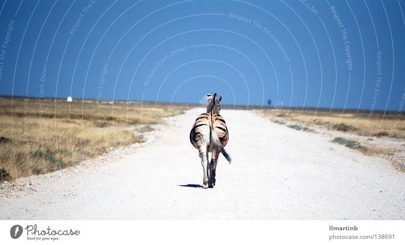 alone Zebra Afrika Steppe Tier Zebrastreifen gestreift Muster Einsamkeit Tod Wege & Pfade Wüste Landschaft
