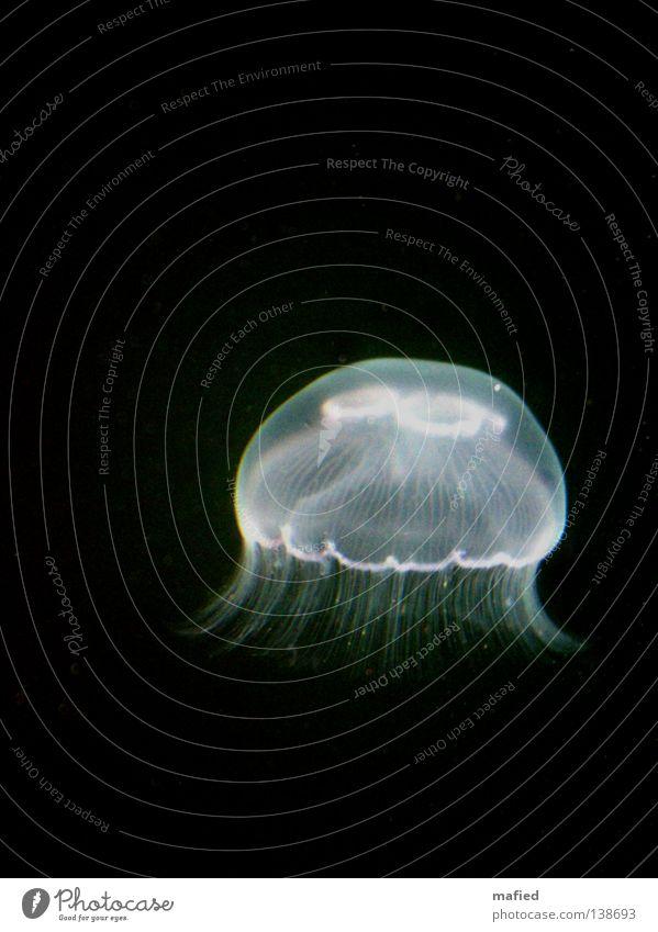 Fiat Lux Qualle Schweben Meer weiß schwarz dunkel ohrenqualle aurelia aurita meduse nesselfäden Wasser phosphoreszierend leuchten aphotisch Freisteller