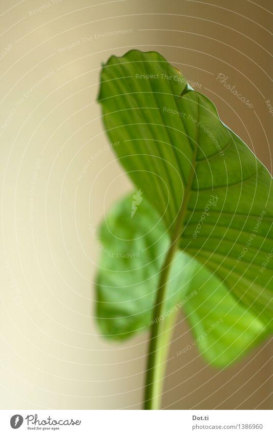 Elefantenohr Pflanze Grünpflanze Topfpflanze exotisch grün Natur Blatt Blattadern Zimmerpflanze tropisch Farbfoto Innenaufnahme Nahaufnahme Menschenleer