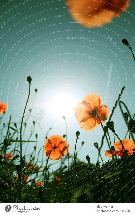 Ein neuer Tag Natur Himmel Sonne Blume Pflanze Wiese Blüte Gras Beleuchtung orange Feld Insekt Biene Mohn Halm Blütenknospen