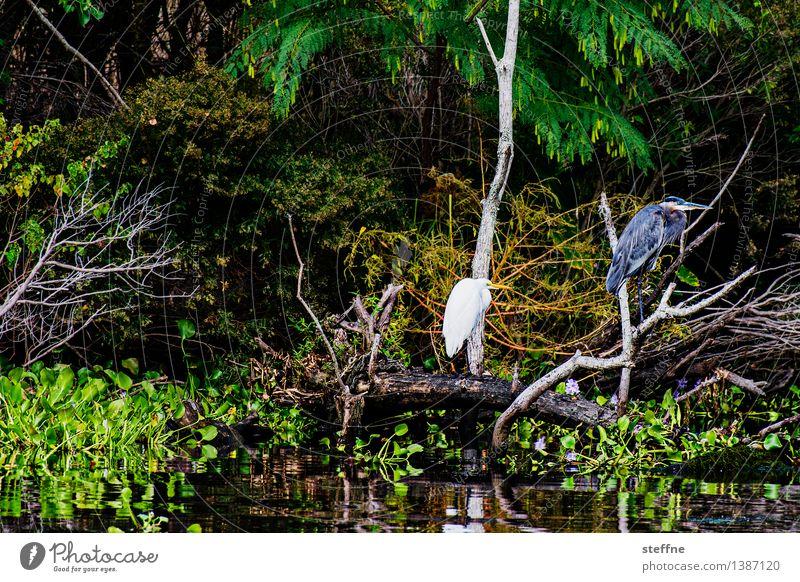 Around the World: Bayou Ferien & Urlaub & Reisen Tourismus Natur Vogel entdecken around the world Reisefotografie Reiher Flußauen USA Louisiana New Orleans