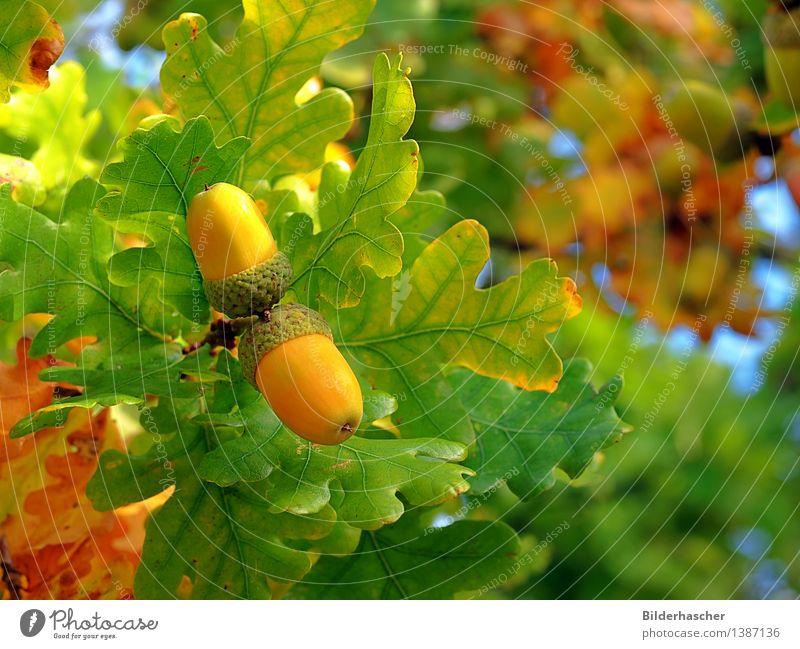 Eichenbaum Eicheln Eichenblatt Frucht Blatt Samen grün Natur Nahaufnahme Nuss Baum Ast Aussaat Herbstfärbung Detailaufnahme Zweig Pflanze Botanik Laubbaum