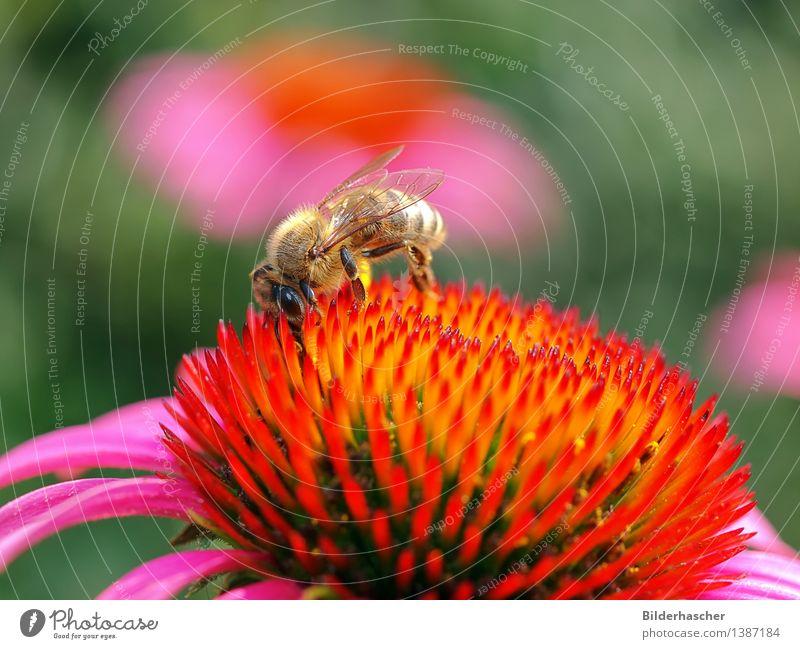 Bienchen Natur Pflanze schön Sommer Blume Blüte natürlich rosa orange Wildtier Flügel Insekt Biene Botanik Korbblütengewächs Pollen