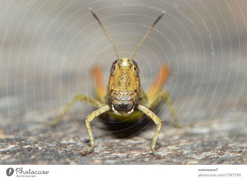 oh Tier Wildtier Heuschrecke 1 hocken sitzen außergewöhnlich Coolness elegant Neugier braun grün orange chrysochraon dispar facettenauge Feldheuschrecken