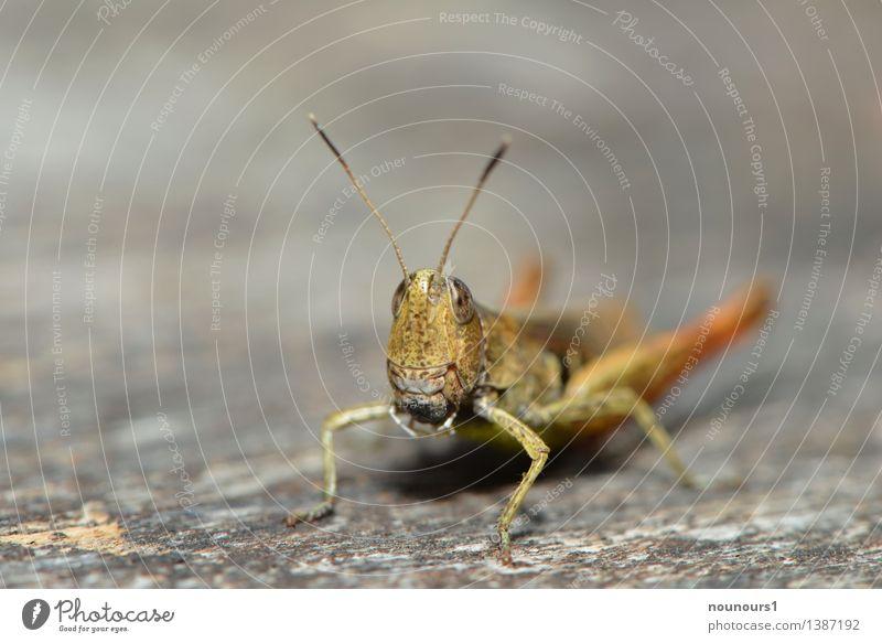 Grashopper Tier Wildtier Heuschrecke 1 hocken sitzen frech Neugier braun grün chrysochraon dispar Facettenauge Feldheuschrecken große Goldschrecke Farbfoto