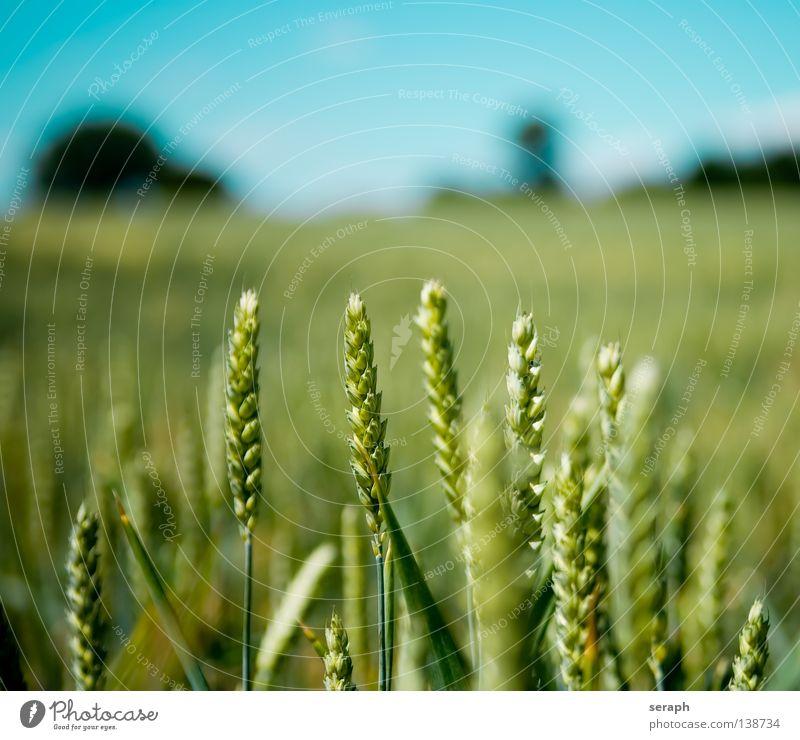 Infield Wiese Feld Roggen grün Freiraum Horizont Wolken Sommer Umweltschutz Kohlendioxid ökologisch Müsli Ferne einzeln abgelegen weiß Weizen Kornfeld Himmel