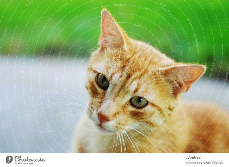 Red Tiger 10 Fell Katze Traurigkeit Freundlichkeit grün rot Trauer Schnurrhaar Säugetier tigi Hauskatze mietzi cat kitten schurrhaare getigert Nase Auge