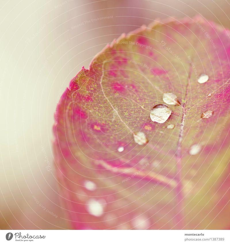 perlen der natur Umwelt Natur Pflanze Urelemente Wasser Wassertropfen Herbst Klima Blatt Grünpflanze Wildpflanze dünn authentisch einfach Flüssigkeit frisch