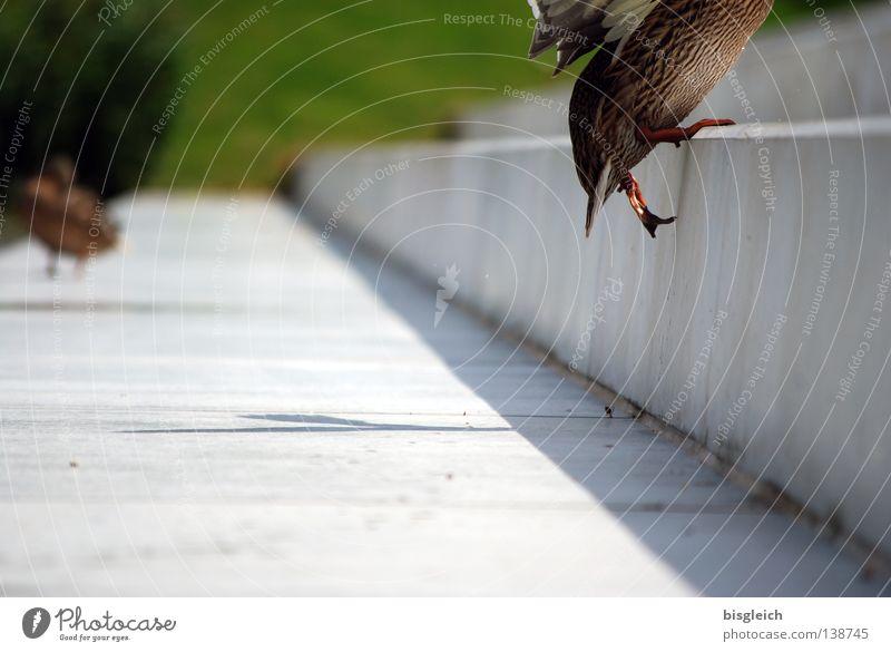 treppauf Freude Tier springen Vogel gehen Tierfuß Treppe aufwärts Treppenhaus Ente Sportveranstaltung Konkurrenz schreiten kopflos Hausente