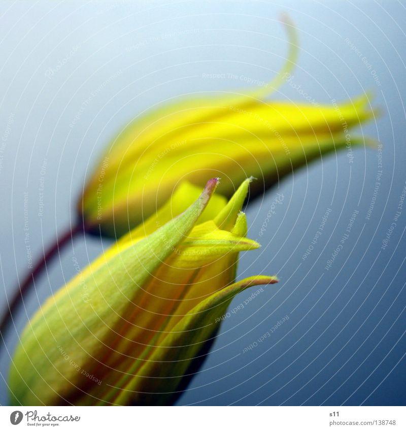 Wilde Kerle Natur schön Blume blau Pflanze Freude gelb Blüte Frühling 2 klein elegant frisch paarweise Stengel Blühend