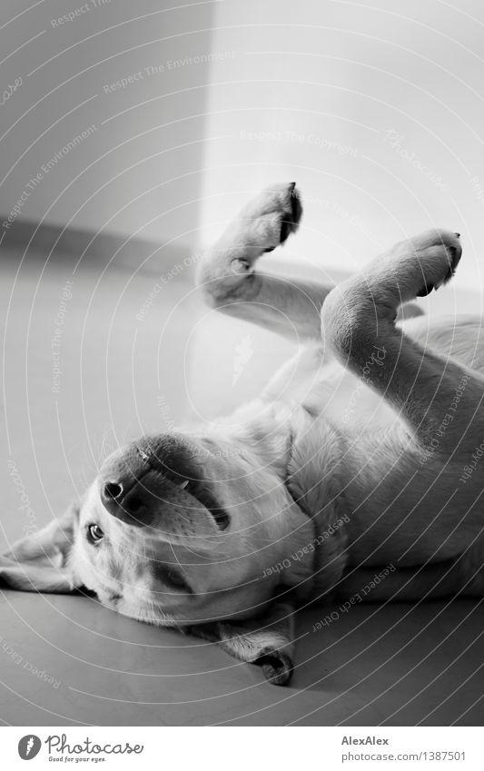 Spielen! Haustier Hund Labrador Pfote Gebiss Ohr Hängeohr 1 Tier liegen Blick ästhetisch authentisch frei Glück nah natürlich positiv rebellisch schön wild