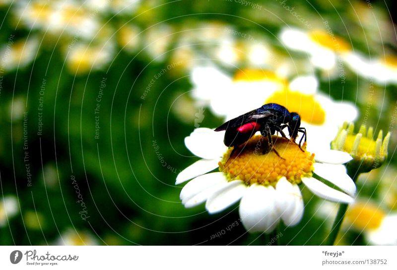 summ summ summ bienchen summ herum Kamille mehrfarbig Frühling grün gelb Detailaufnahme camomile bee little bee Heilpflanzen Unkraut