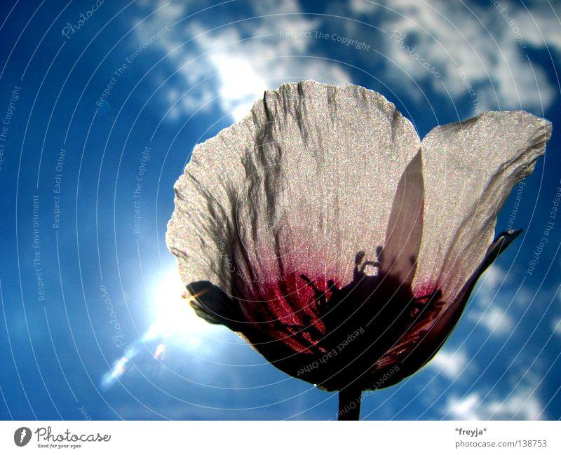 Opium Sonne Blume blau Gesundheit Mohn Schlafmohn