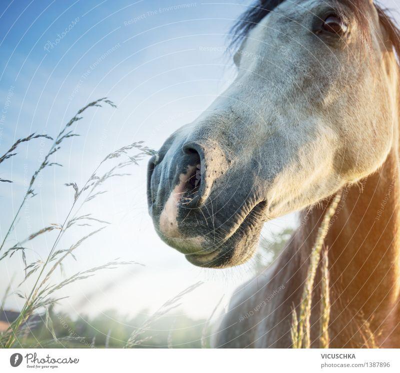 Pferdekopf in der Morgendämmerung Himmel Natur Sommer Tier Frühling Wiese Gras Lifestyle Feld Schönes Wetter Nase Tiergesicht himmelblau Reiten