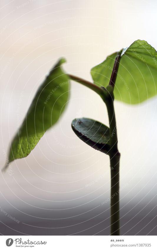 Wachstum Gesundheit Wellness Leben harmonisch Gartenarbeit Umwelt Natur Pflanze Erde Frühling Sommer Blatt Grünpflanze Bohnen Bohnenkeime Feld authentisch