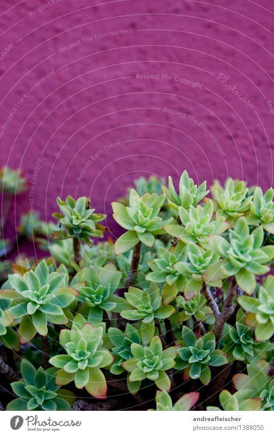 Sukkulenten Natur Pflanze Sommer Kaktus exotisch Garten Leben Wand Topfpflanze Wachstum grün rosa purpur Strukturen & Formen Spitze Farbfoto mehrfarbig