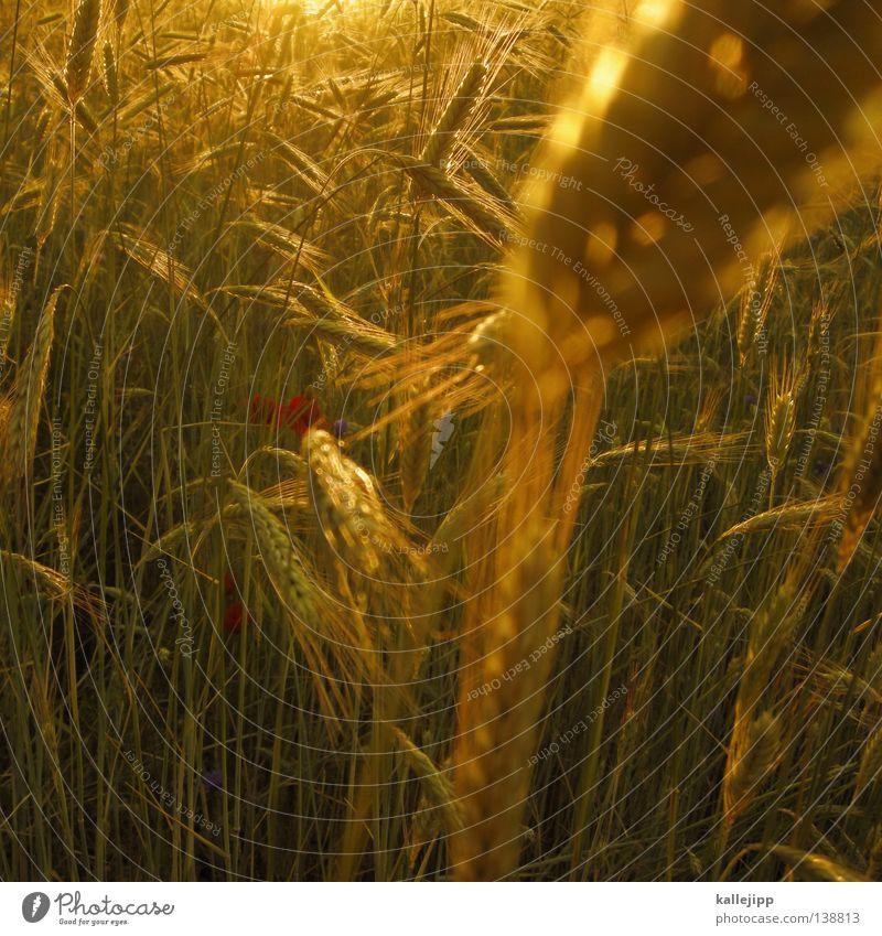 wir ernten was wir sehen Lebensmittel Weizen Gerste Hopfen Gras trocken Mehl Halm Landwirtschaft Gesundheit Aussaat Saatgut Feld bebauen Ackerboden