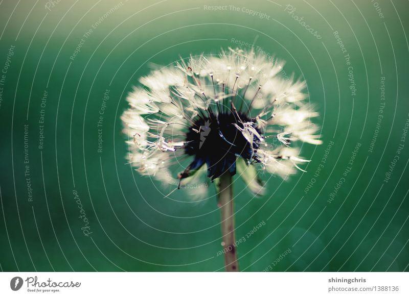 am stiel. Natur Pflanze Wassertropfen Herbst Blume Löwenzahn Blühend stehen grün weiß ruhig Glück Hoffnung Vergänglichkeit Gedeckte Farben Außenaufnahme