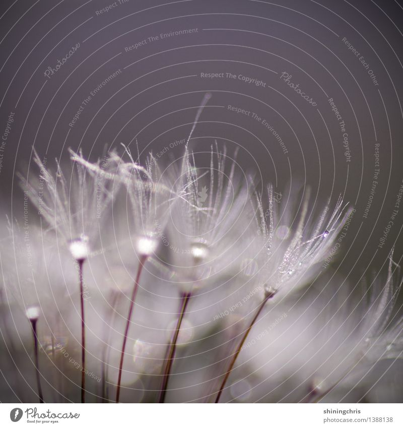 dandelion dance. Natur Pflanze Wassertropfen Herbst Klima schlechtes Wetter Blume Löwenzahn Tanzen glänzend Lebensfreude positiv Tau Irritation Gedeckte Farben