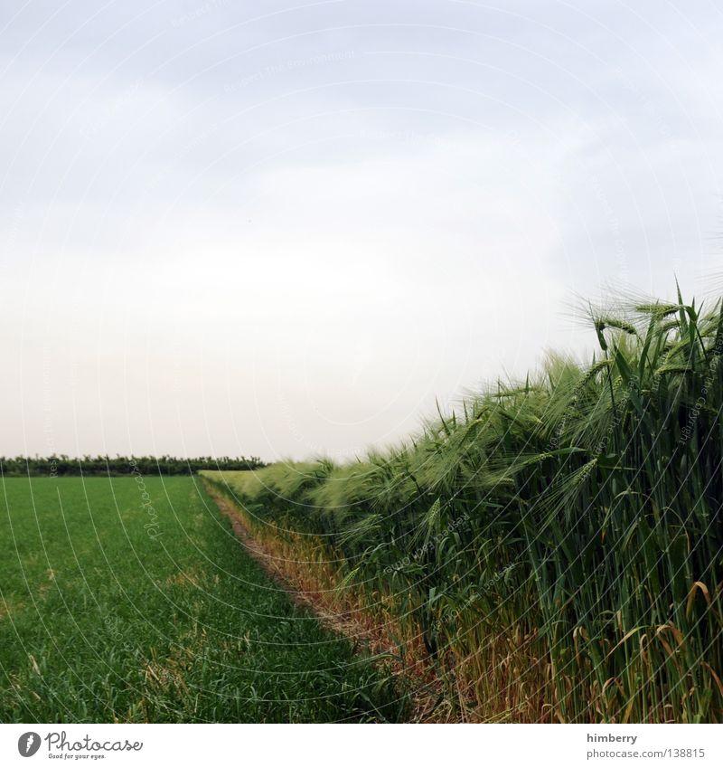 feldversuch Feld Landwirtschaft ökologisch Wiese Himmel Müsli Ernährung Wachstum gedeihen Sommer Korn Getreide Natur Bioprodukte field wheat corn Bauernhof sky