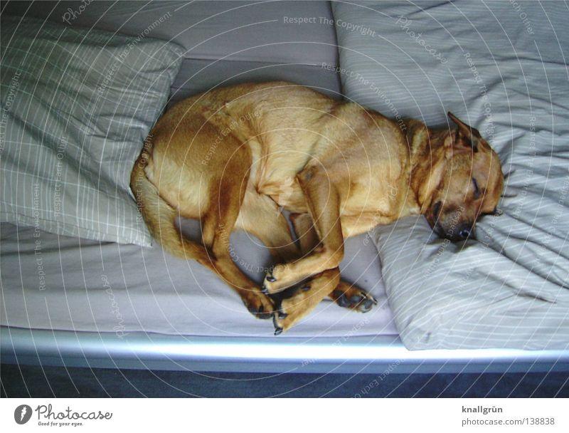 Sleeping Beauty Hund Mischling träumen braun beige schlafen Müdigkeit Erholung Halbschlaf Siesta Bett Bettwäsche Bettdecke Bettlaken geschlossene Augen