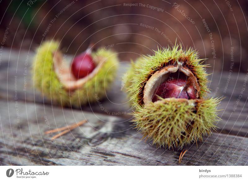 Esskastanien Lebensmittel Maronen Ernährung Bioprodukte Gesunde Ernährung Herbst Wildpflanze Fruchtstand Holz ästhetisch frisch natürlich Originalität positiv